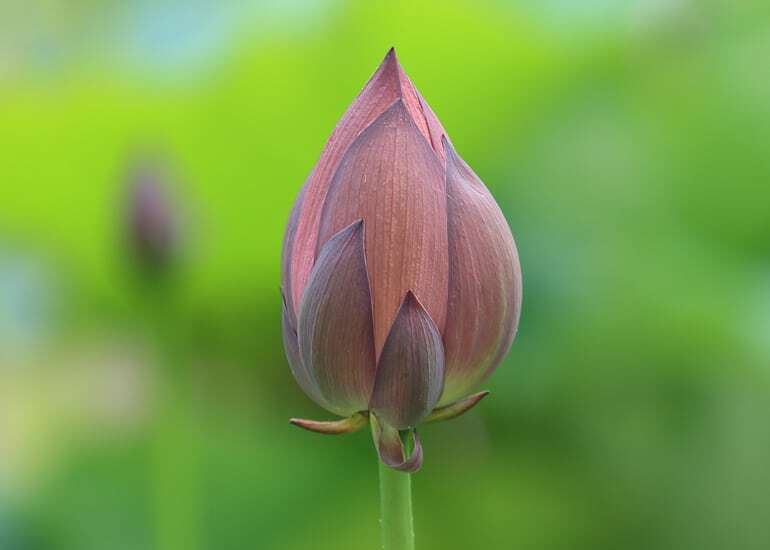 Mindfulness Lotus